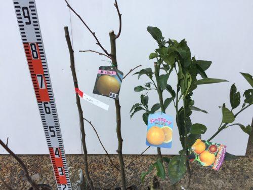 りんご、胡桃、梨、柑橘類などの本日の発送苗