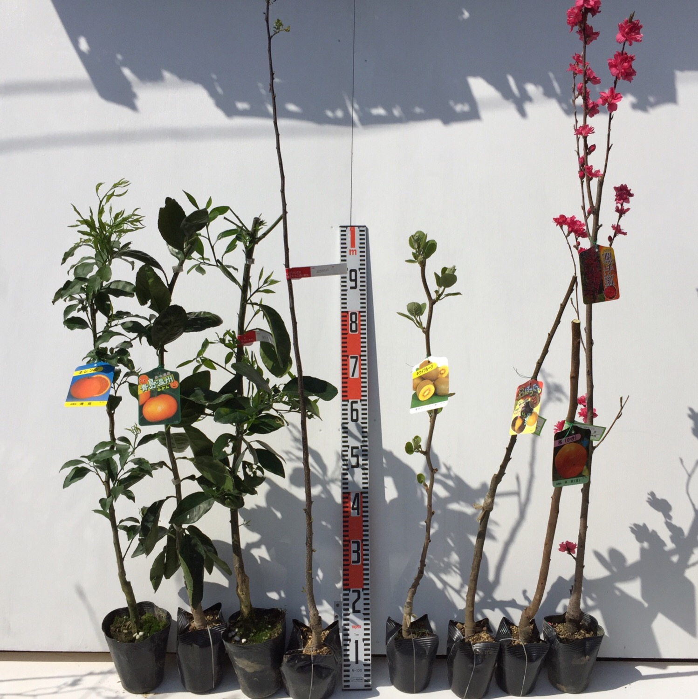 柑橘類、山椒、キウイ、栗、柿、桃などの本日の発送苗