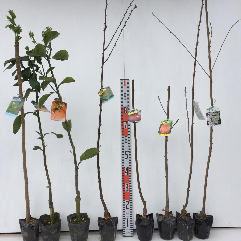 タラの木、柑橘類、梅、桃、桜などの本日の発送苗