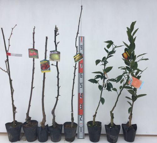 葡萄、サクランボ、梨、柑橘類などの本日の発送苗