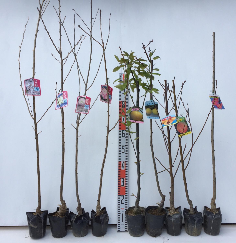 桜、桃、梅、りんご、キウイなどの本日の発送苗