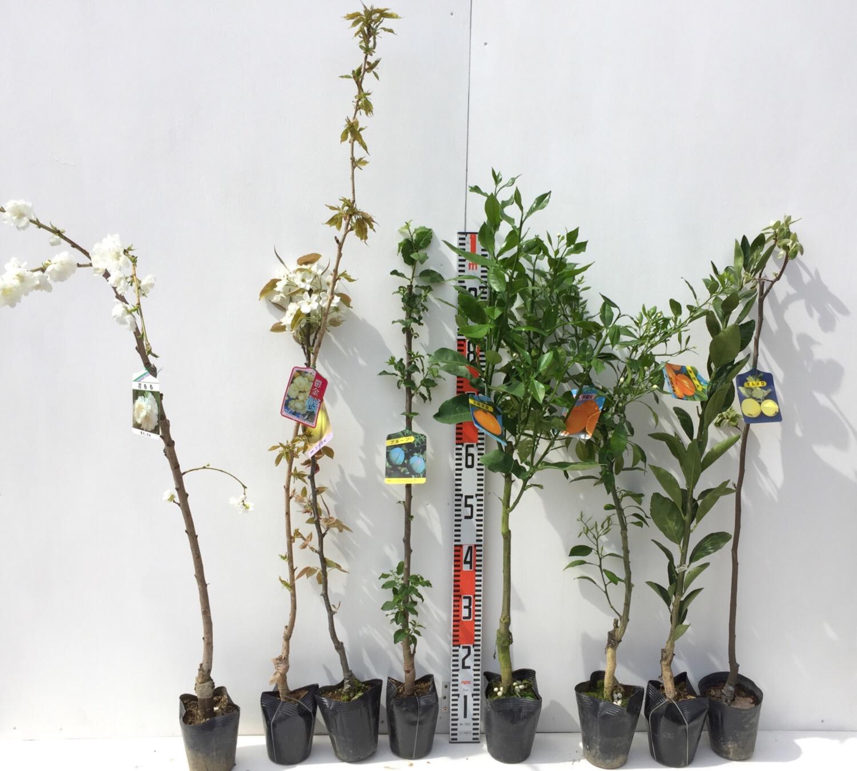 桃、桜、梨、プルーン、柑橘類などの本日の発送苗