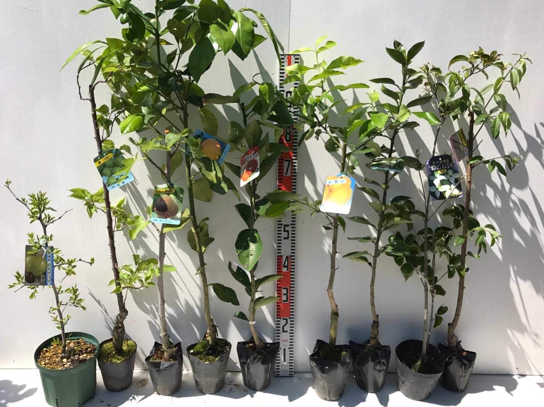 ナツメ、梅、無花果、柑橘類、ヤマボウシ、アーモンドなどの本日の発送苗