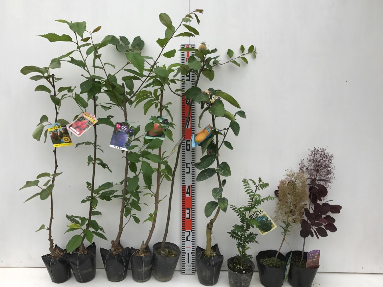 キウイ、さくらんぼ、プルーン、桃、柑橘類、スモークツリーなどの本日の発送苗