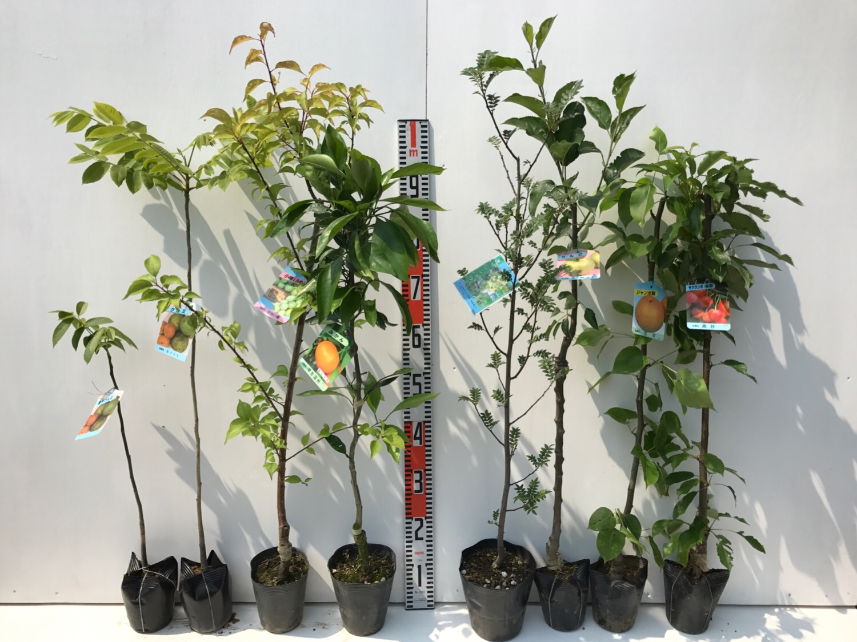 胡桃、梅、柑橘類、山椒、林檎、梨、サクランボなどの本日の発送苗