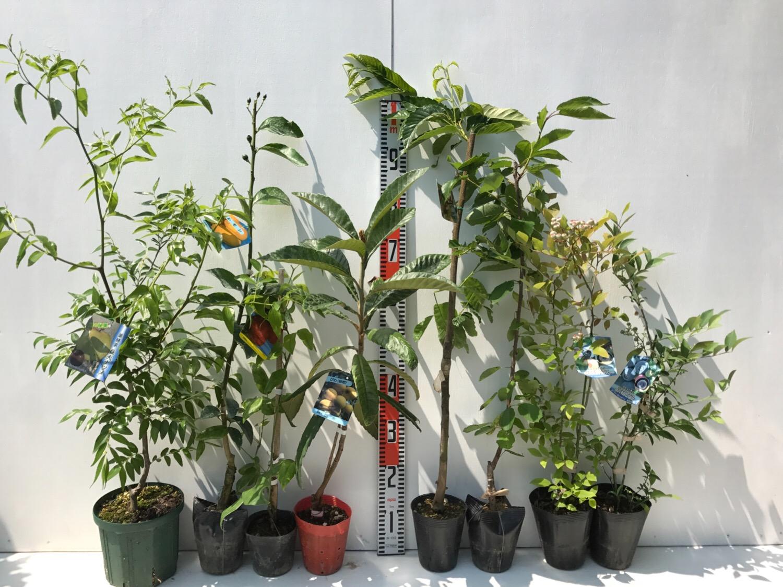 ナツメ、柑橘類、ムベ、ビワ、栗、サクランボ、ブルーベリーなどの本日の発送苗