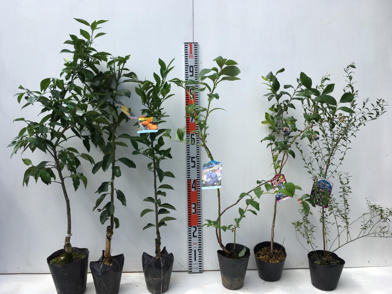 柑橘類、ブルーベリー、ビルベリーなどの本日の発送苗