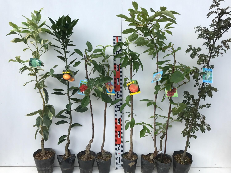 柑橘類、サクランボ、桃、桜、葡萄、花さんしょうなどの本日の発送苗