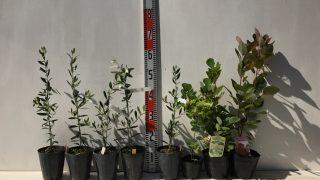 オリーブ、ラズベリー、スモークツリーなどの本日の発送苗
