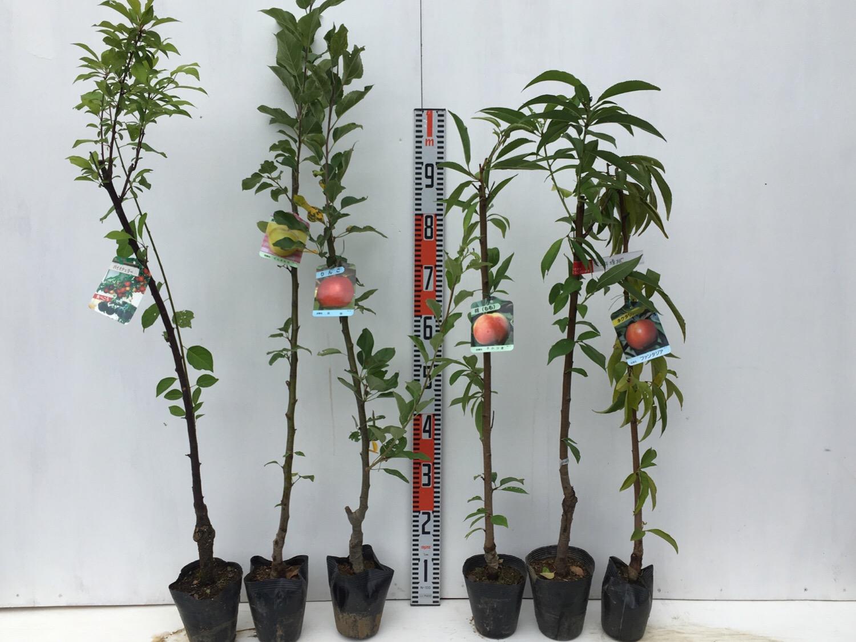 サクランボ、リンゴ、桃などの本日の発送苗