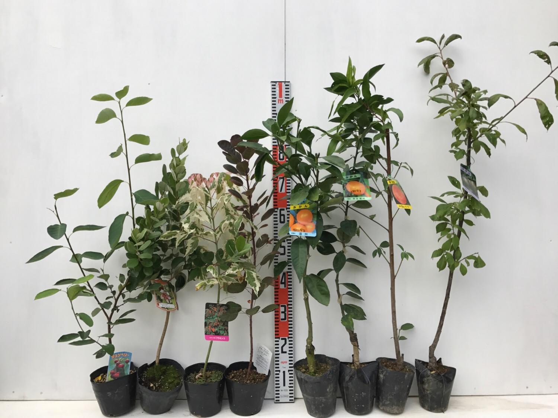 ジューンベリー、フェイジョア、スモークツリー、柑橘類、桃などの本日の発送苗