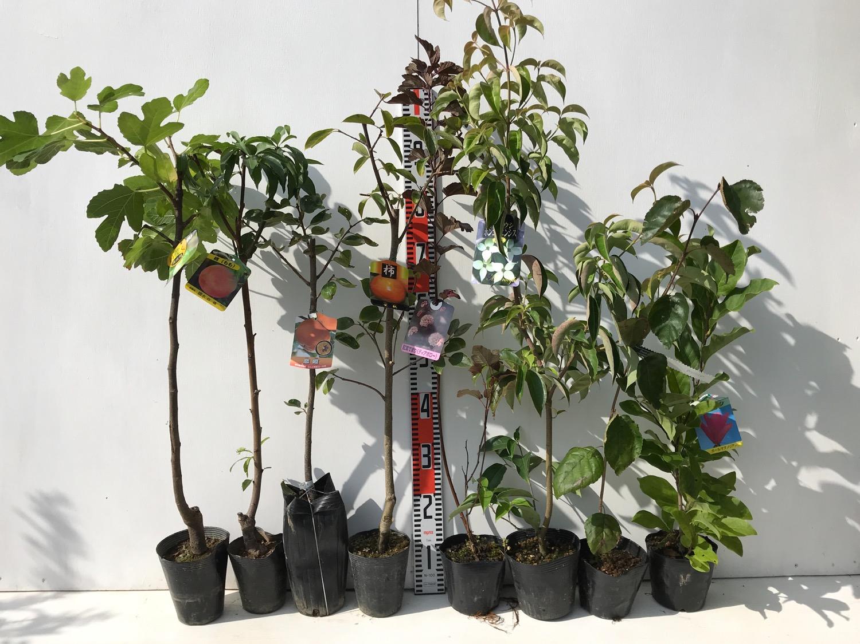 イチジク、桃、柿、ディアボロ、ヤマボウシ、モクレンなどの本日の発送苗