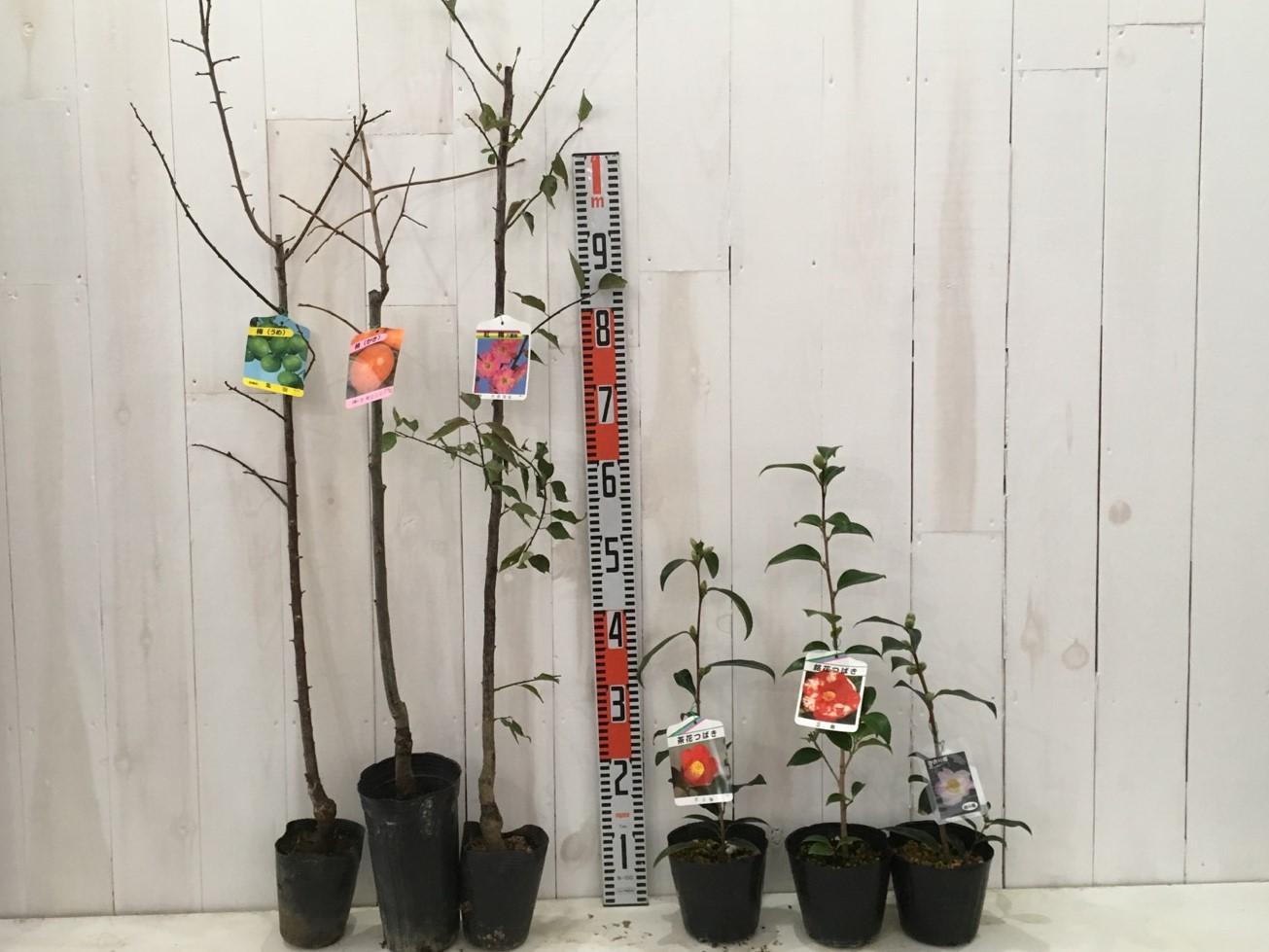 梅、柿、花梅、椿などの本日の発送苗