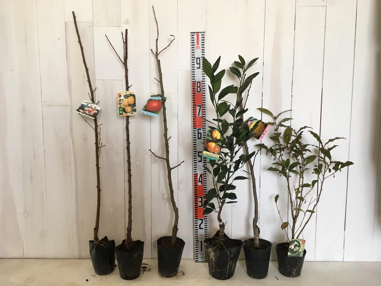 花桃、アンズ、リンゴ、柑橘類、梨、お茶などの本日の発送苗
