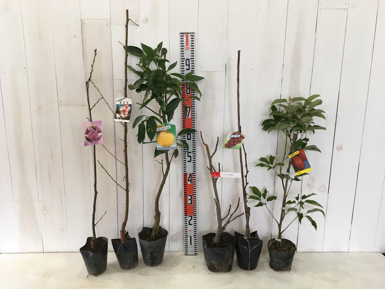 桜、花桃、柑橘類、イチジク、葡萄、ムベなどの本日の発送苗
