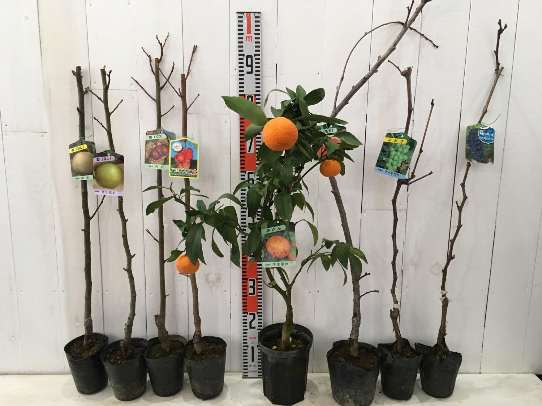 梨、栗、りんご、柑橘類、桃、ぶどうなどの本日の発送苗