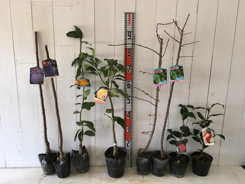 プルーン、柑橘類、梅、椿などの本日の発送苗
