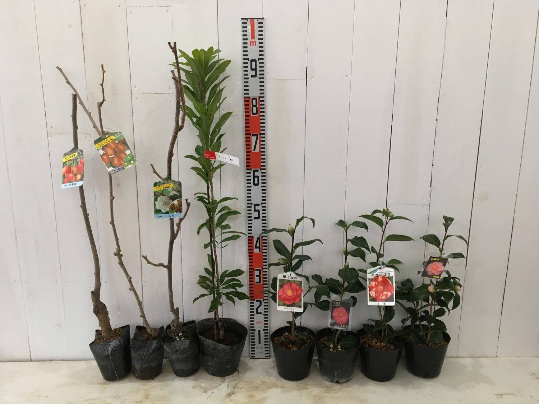 さくらんぼ、キウイ、桃、椿などの本日の発送苗