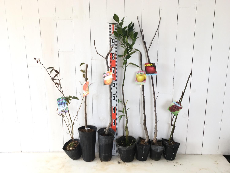 ブルーベリー、柿、柑橘類、りんご、葡萄などの本日の発送苗