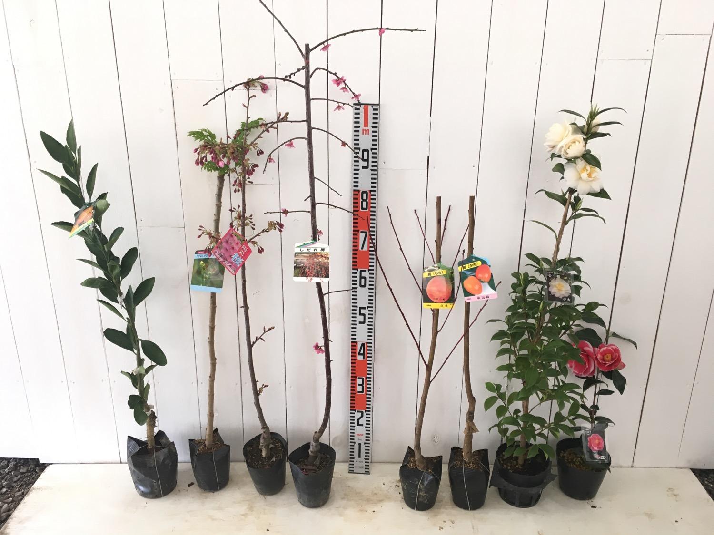 柑橘類、タラの木、さくら、花梅、桃、柿、ツバキなどの本日の発送苗
