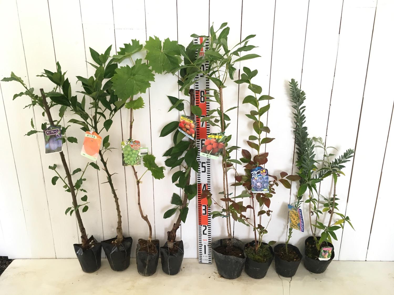 プルーン、柑橘類、葡萄、さくらんぼ、ブルーベリー、ブットレアなどの本日の発送苗