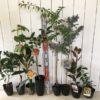 柑橘類、葡萄、ビワ、柿、梅、スモークツリー、フェイジョアなどの本日の発送苗
