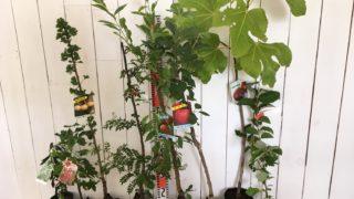 オリーブ、カラント、銀杏、山椒、プラム、リンゴ、イチジク、グミなどの本日の発送苗