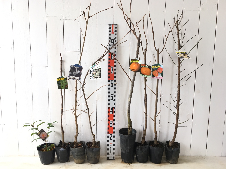 椿、ブドウ、桜、柿、梅などの本日の発送苗