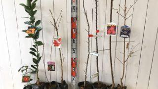 椿、ミカン、サクランボ、バレリーナツリー、ウメ、桜などの本日の発送苗