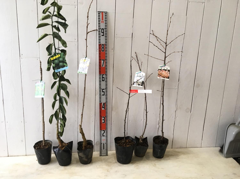 タラの木、スダチ、銀杏、ぶどう山椒、桜などの本日の発送苗