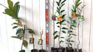ビワ、アケビ、桜、柑橘類、キウイなどの本日の発送苗