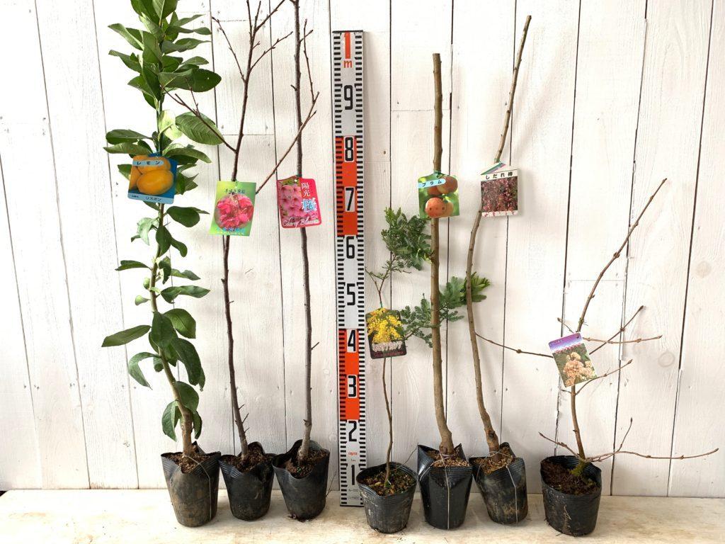 柑橘類、桜、ミモザ、桃、梅、ビバーナムなどの本日の発送苗