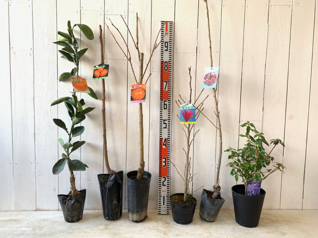 柑橘類、柿、モクレン、桜、ツツジなどの本日の発送苗