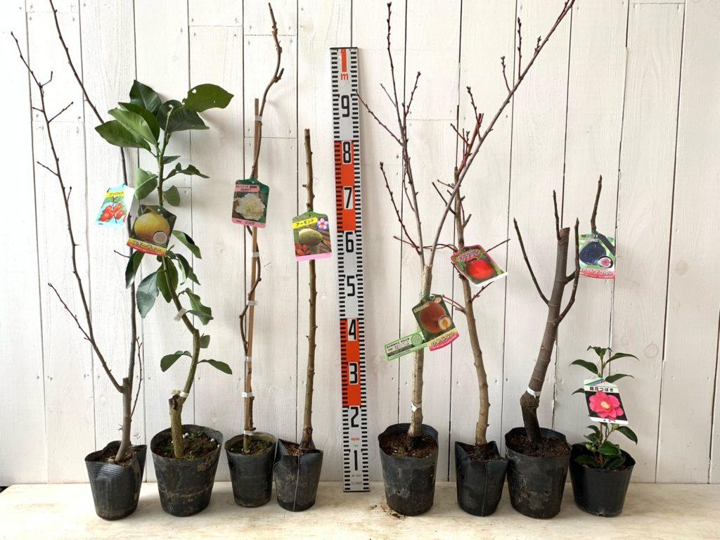 グミ、柑橘類、キウイ、アーモンド、もも、いちじく、椿などの本日の発送苗