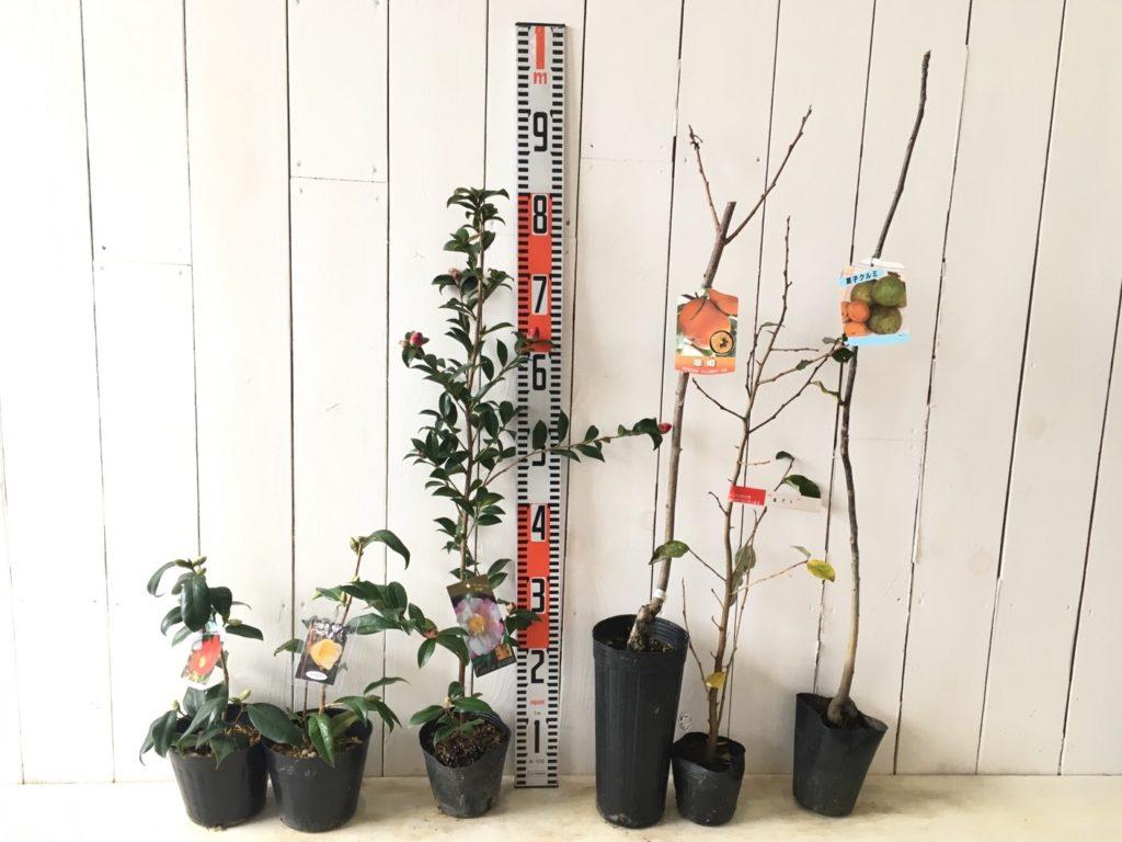 椿、山茶花、柿、クルミなどの本日の発送苗