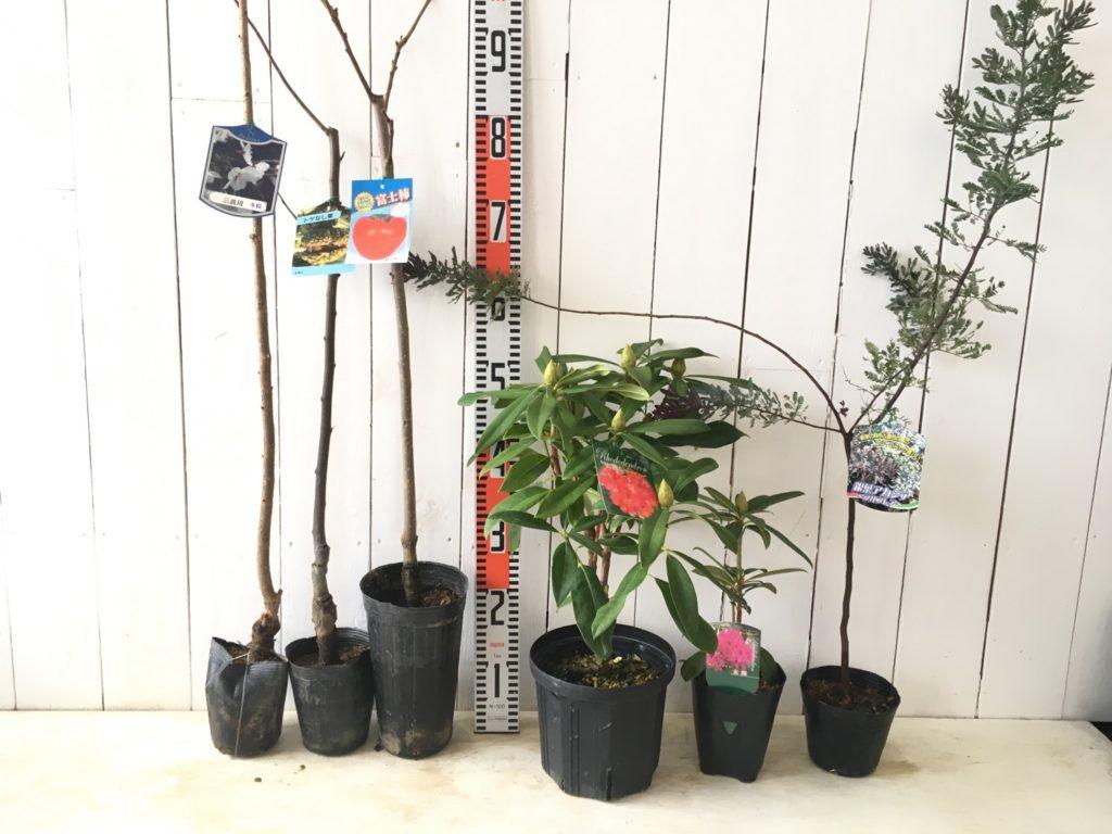 桜、タラ、柿、シャクナゲ、ミモザなどの本日の発送苗