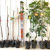 葡萄、あんず、リンゴ、柑橘類などの本日の発送苗