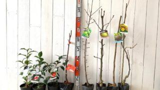 つばき、林檎、ウメ、梨、無花果、キウイなどの本日の発送苗