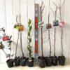 さざんか、キウイ、さくらんぼ、月桂樹、栗、プルーン、サクラなどの本日の発送苗