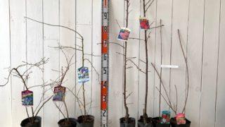 ブルーベリー、うめ、ジューンベリー、スモークツリーなどの本日の発送苗