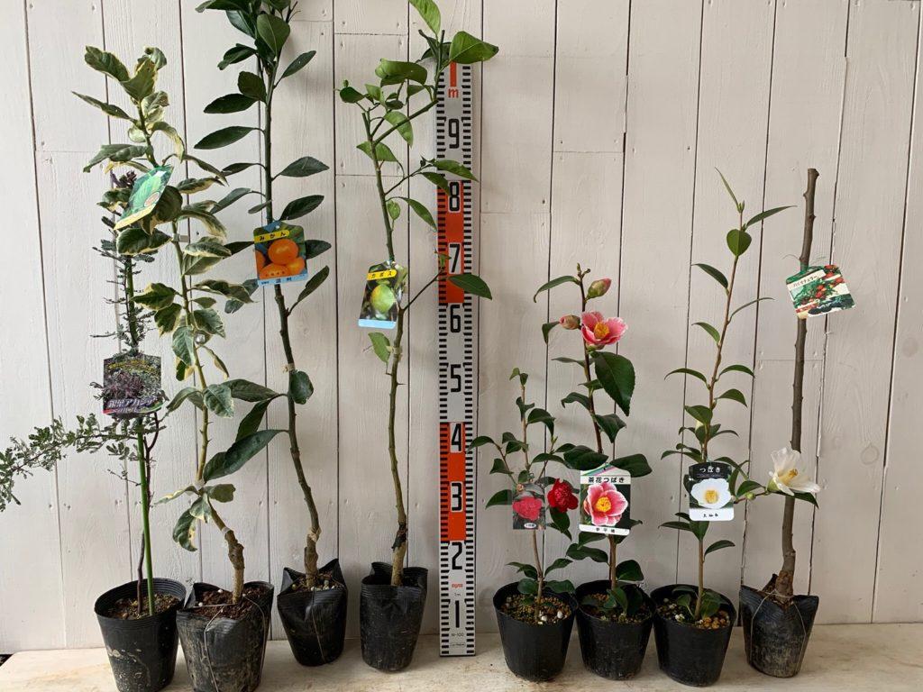ミモザ、柑橘類、つばき、スモモなどの本日の発送苗