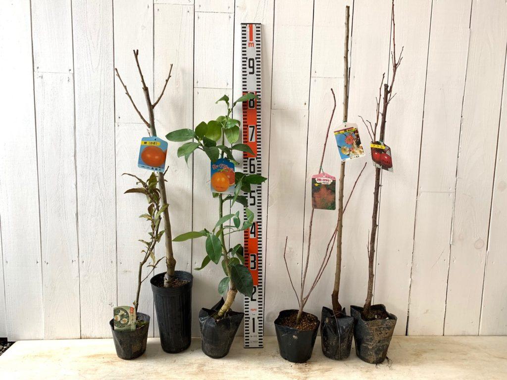 カキ、柑橘類、スモークツリー、ウメ、スモモなどの本日の発送苗