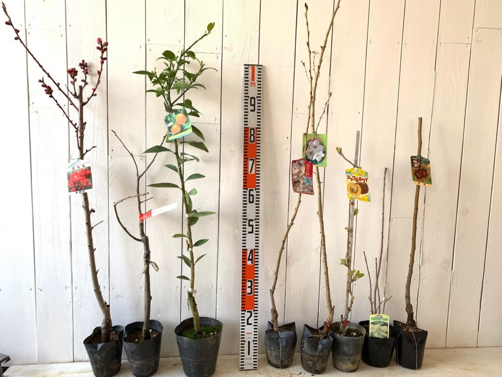 もも、栗、橘、桜、キウイ、スモークツリーなどの本日の発送苗