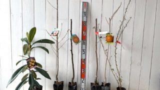 ビワ、花桃、梨、かき、グミなどの本日の発送苗