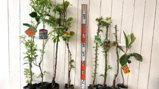 ミカン、ブルーベリー、林檎、キウイ、ウメ、スモモ、梨、びわなどの本日の発送苗