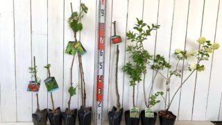 なつめ、トゲなしタラ、葡萄、リンゴ、スモークツリー、ビバーナムなどの本日の発送苗