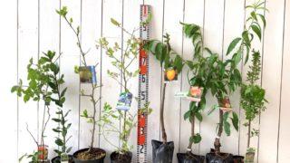 ラズベリー、月桂樹、なつめ、ブルーベリー、渋柿、桃、スモークツリー などの本日の発送苗