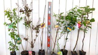 うめ、スモークツリー、ブドウ、モモ、クコ、ミカン、りんご、キウイなどの本日の発送苗