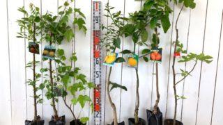 スモモ、あんず、カシス、檸檬、柚子、柿、無花果などの本日の発送苗