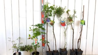 モッコウバラ、はっか、ラズベリー、プルーン、イチジク、ざくろ、栗、ブドウなどの本日の発送苗